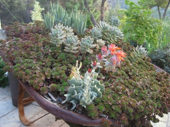 Dragon's blood sedum, mixed with companion succulents