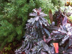 Jeweled purple euphorbia