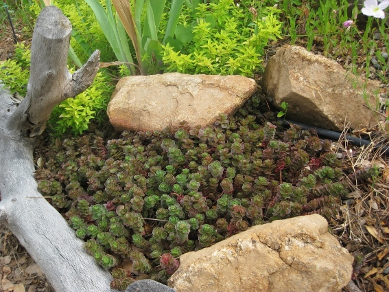 Sedum 'Dragon's Blood' nestled between rocks and branches in the garden bed