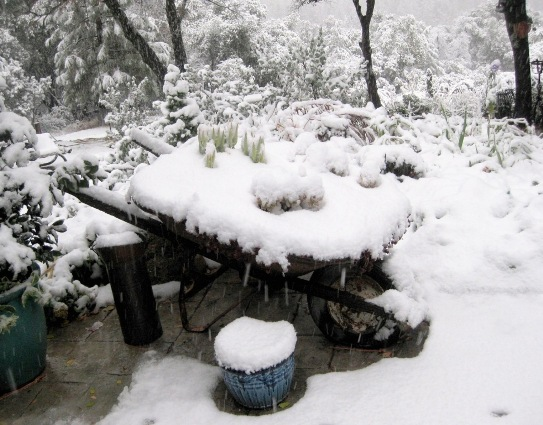Snow, making a frosty blanket on the wheelbarrow of sedum