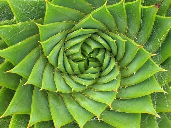 If you count the number of petals in this succulent, it will be a Fibonacci number