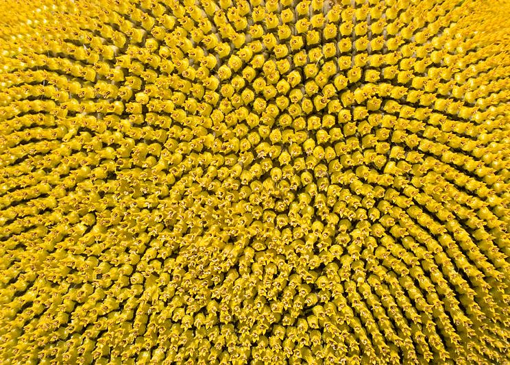 Sunflower pattern showing spirals