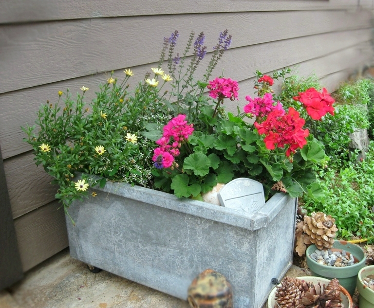 Osteospermum, Salvia 'May Night' and graniums in a galvanized palnter on wheels.