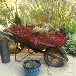 Sedum filled wheelbarrow in fall