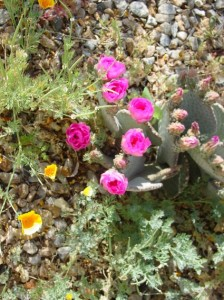 Blooming Beavertail cactus