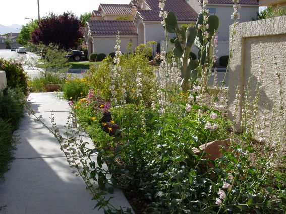 Tall drought tolerant Penstemon edges the walk