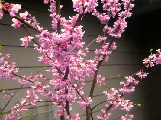 Eastern Redbud, Cercis canadensis, flowers are Valentine colors!