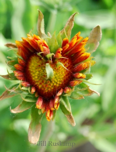 Jill Ruskamp's Indian Blanket heart