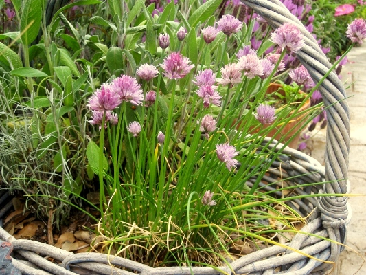 Chives, Italian parsley, purple sage, dill and thyme fit in the basket