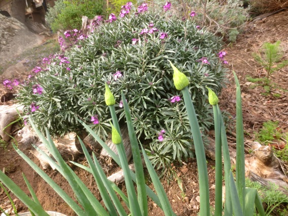 Onion tops if left to bloom
