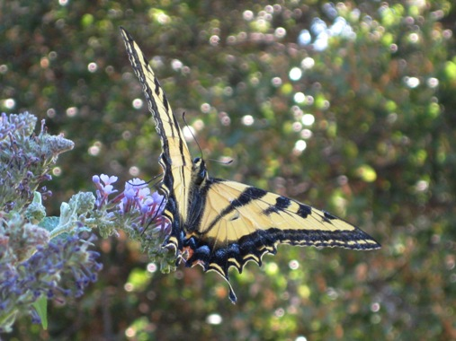 Swallowtail swooping down, see how it matches the blue of the buddleia?