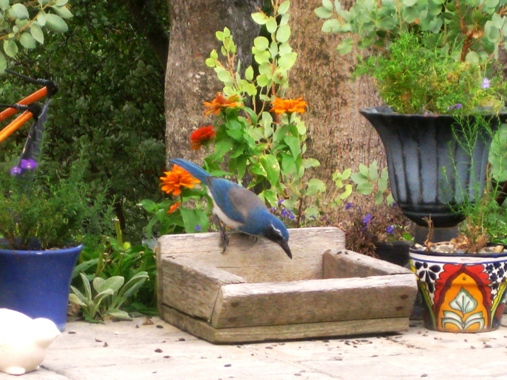 Western Scrub-Jay  feeding from an old goat shed feeder tray.