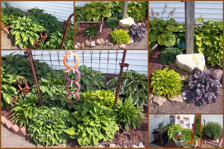 Several of my hostas from May and June, I have over 100 different kinds.