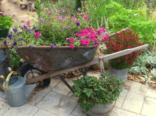 Deep blue and magenta petunias in my trusty rusty wheelbarrow