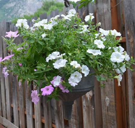 """Marie Niemann says, """"These are the Wave Petunias that come back every year from self seeding.'"""