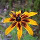 Rudbeckia or in this case Gloriosa Daisy!