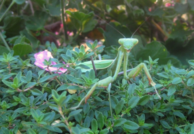 Female Mantis.... Hello!