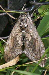 Five-spotted Hawk moths