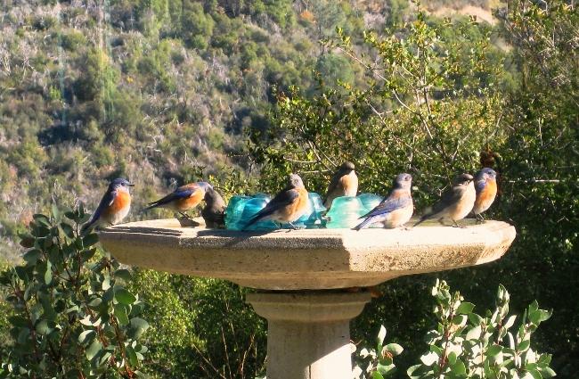 8 blue birds