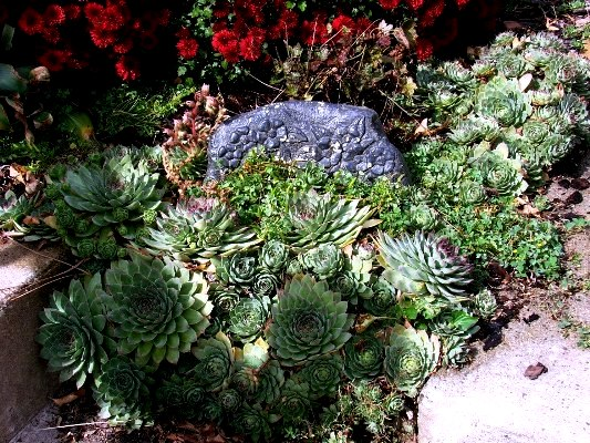 Jeanne Sammons Echeveria fills in the space given