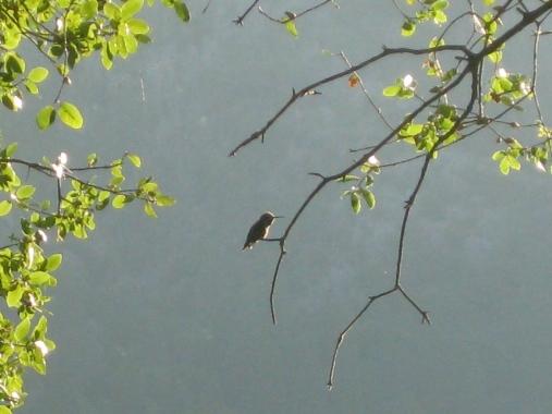 Lone Hummingbird
