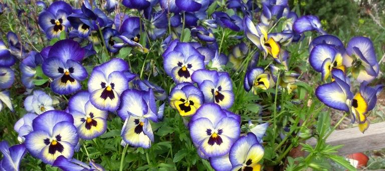 Blueberry thrill violas-featured