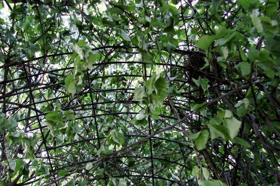 "Looking up at the bittersweet vines on the wire grid arch.  ""Success!"" Jeanne says, the vine has finally taken off!"