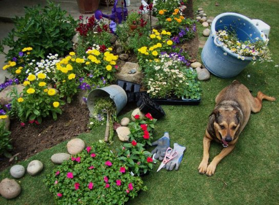 Tipper,...so tired from helping with the planting...