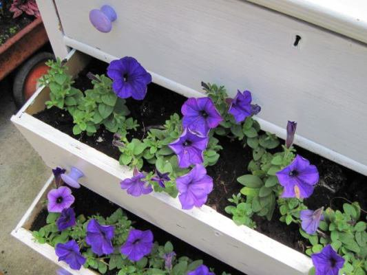 Petunias peek out of the drawers, lined with plastic hidden from view