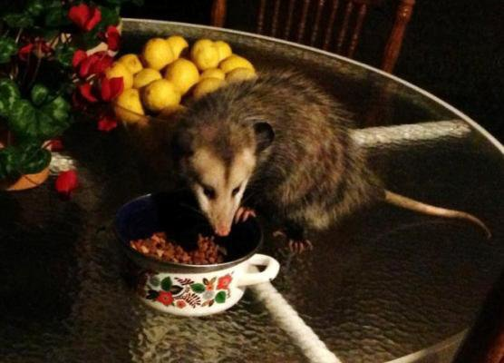 That's a funny looking cat!  It's Blossom the possum....checking out the food dish
