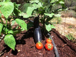 Japanese eggplant and small Red Zebra tomatoes