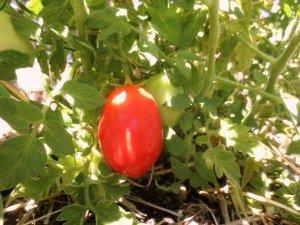 San Marzano plum tomato