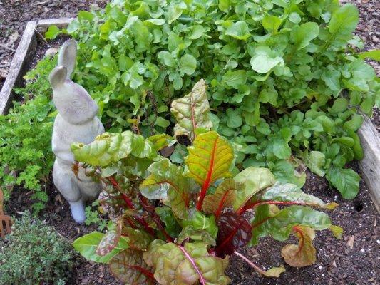 Betty Sneeringer's rabbit proof chard