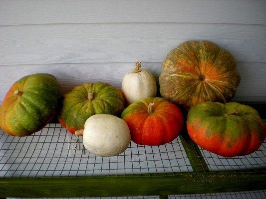 Billie Hayman: My first pumpkin pick!