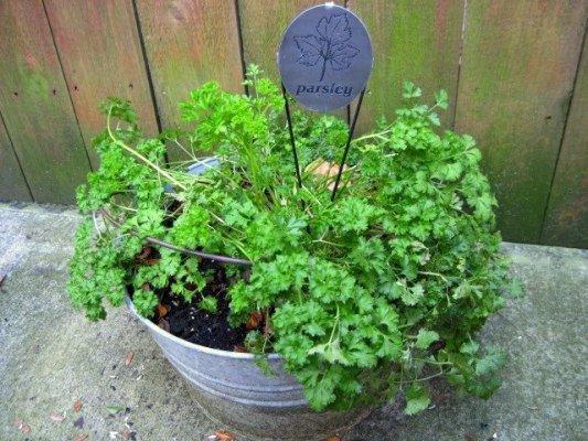 Jeanie Merritt's parsley