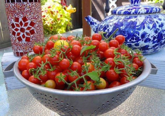 Linda Arbour's tomatoes