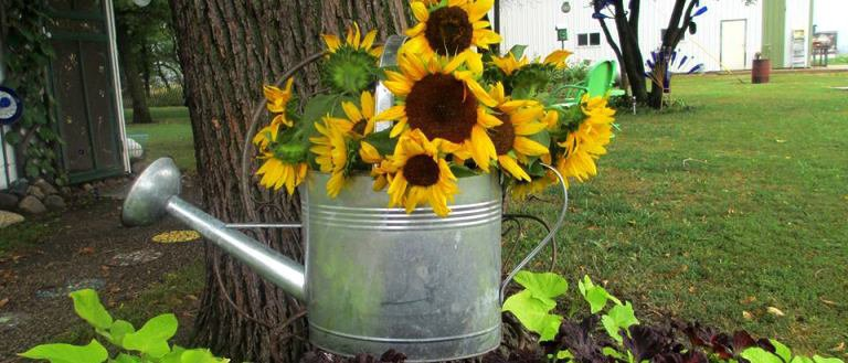 Sue's scattered sunflowers and what she did