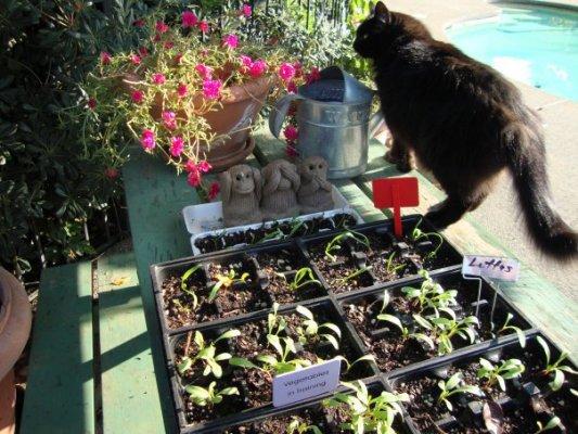 Baby lettuce seedlings,...coming along in October