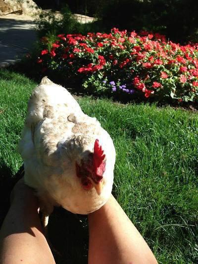 Jane's 'Lost and Found Chicken'
