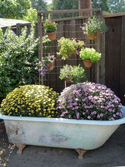 The vintage claw foot tub, filled with now-blooming mums