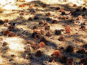 Good Sierra pine cones
