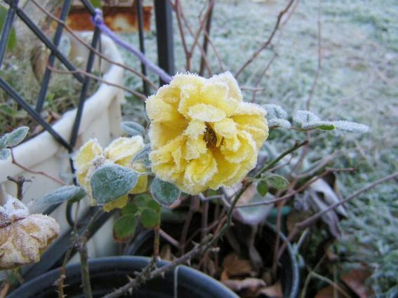 Jill Waltenspiel's frosty rose