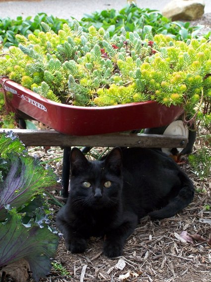 "Arlene Brenneman says, ""Look who's hiding under the wheelbarrow planted with sedums. Had a hard time getting him to look up for the photo - he was busy watching bugs crawl around."""