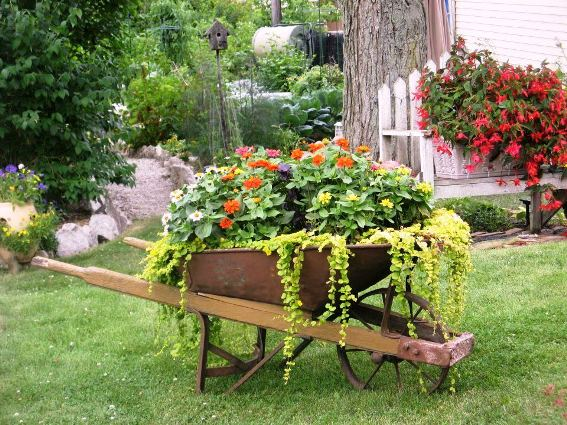 Nancy McKay's lush wheelbarrow includes creeping Jenny and Zinnia