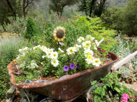 My rusty wheelbarrow filled with sunny yellow petunias.
