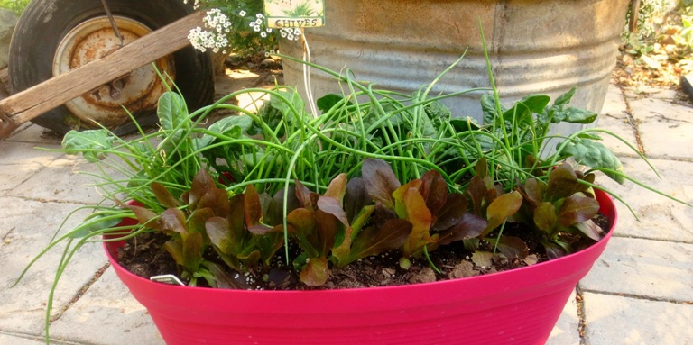 Grow a 'Cut and Come Again' salad garden