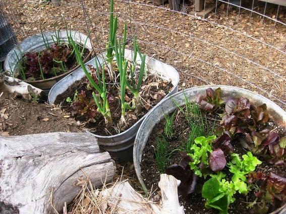 My galvanized salad garden last year