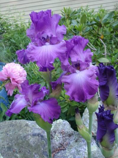Cherrie Carine's unknown iris