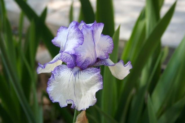 My favorite, favorite, Iris 'Hemstitched' Reblooming Bearded Iris