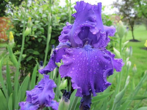Jeanie Merritt's ruffly blue iris